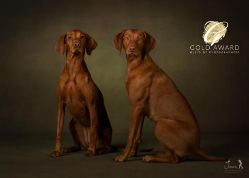 Vizsla by Jason Allison Photography