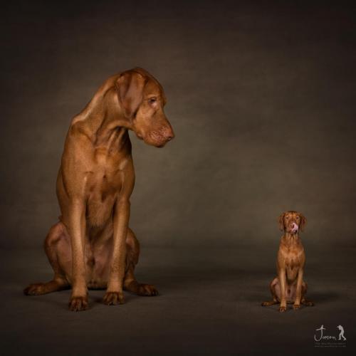 Vizsla by Jason Allison Photography