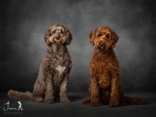 Australian Labradoodle by Jason Allison Dog Photography -