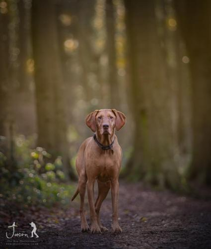 A Vizsla in the woods