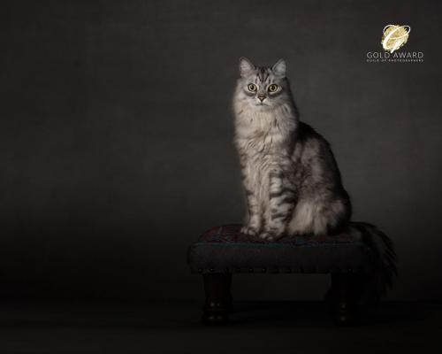 King Oswald II - Maine Coon by Jason Allson Pet Photographer