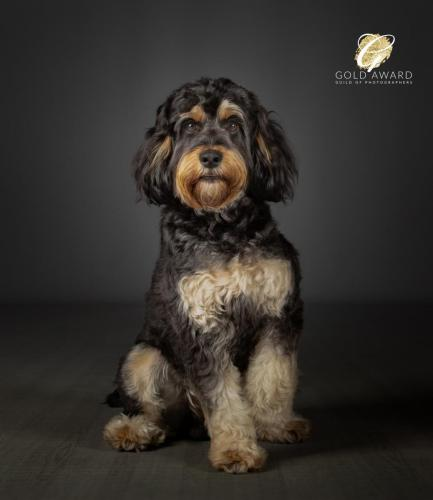 Rab the Cockapoo by Jason Allison Dog Photography