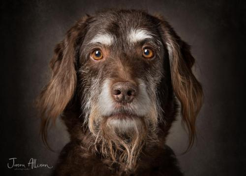 Labradoodle Photo Portraits