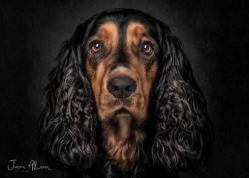 Jason Allison Pet Portrait of Charlie the Working Cocker Spaniel - Multi Award Winning Image