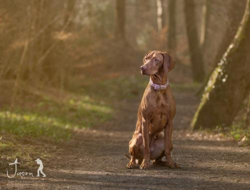 Amber the Hungarian Vizsla Outdoor Portrait