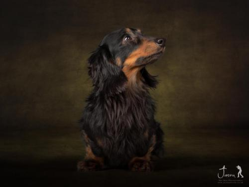 Kenny the Long Haired Mini Dachshund